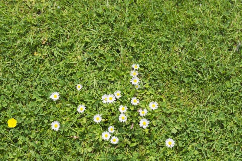 Campo jugoso verde con la hierba, un modelo de margaritas y un solo pequeño ranúnculo amarillo fotografía de archivo libre de regalías