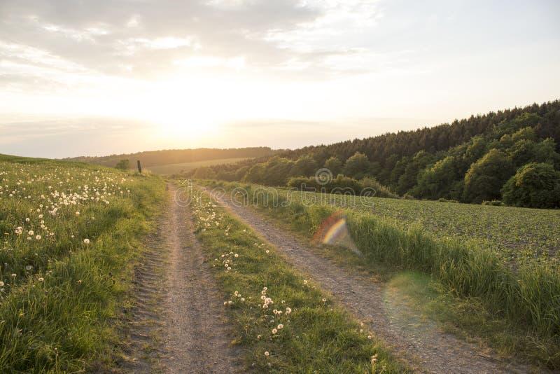Campo largo do dente-de-leão perto da estrada do por do sol fotos de stock royalty free