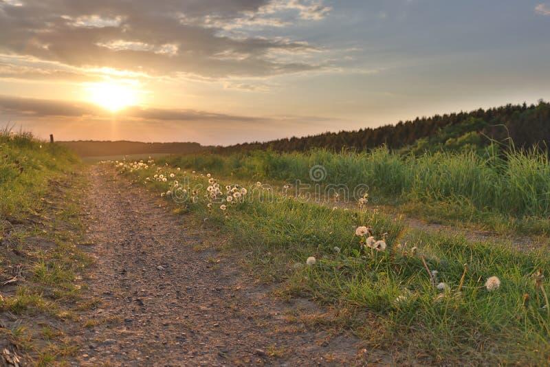 Campo largo do dente-de-leão perto da estrada do por do sol imagens de stock royalty free