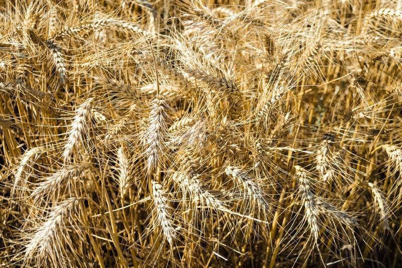 Campo largo do trigo dourado no dia ensolarado do verão Estação de uma colheita Feche acima do campo de milho pronto para o proje fotos de stock royalty free