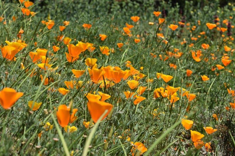 Campo magnífico de Poppy Flowers anaranjada floreciente fotografía de archivo libre de regalías