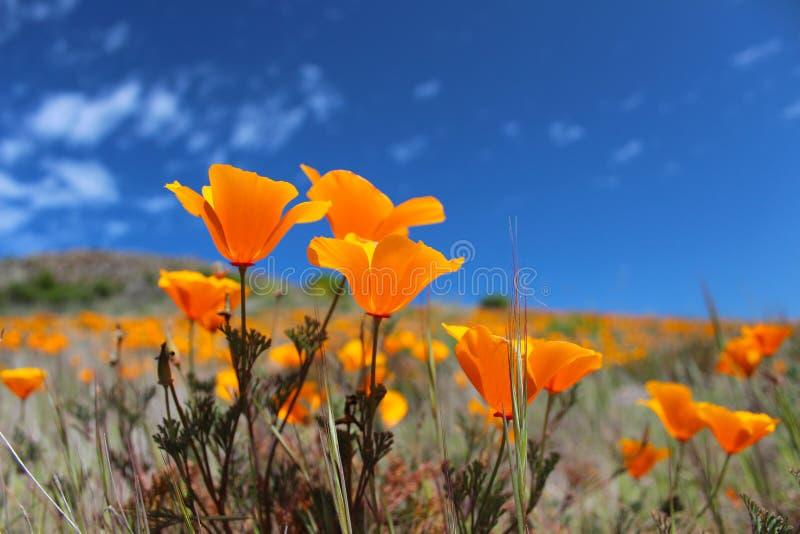 Campo na primavera, EUA da papoila de Califórnia foto de stock royalty free