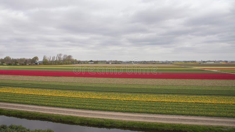 Campo neerlandês de tulipas coloridas nos Países Baixos Paisagem natural da primavera Fundo, wallpaper imagem de stock royalty free
