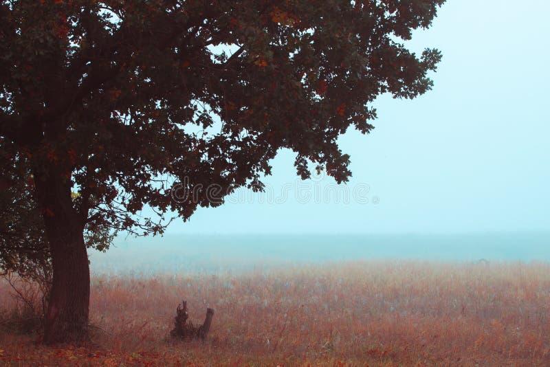 Campo nevoento do outono com o close up bonito grande do carvalho fotografia de stock royalty free