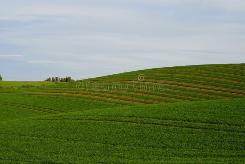 Campo ondulado da mola verde da grão foto de stock