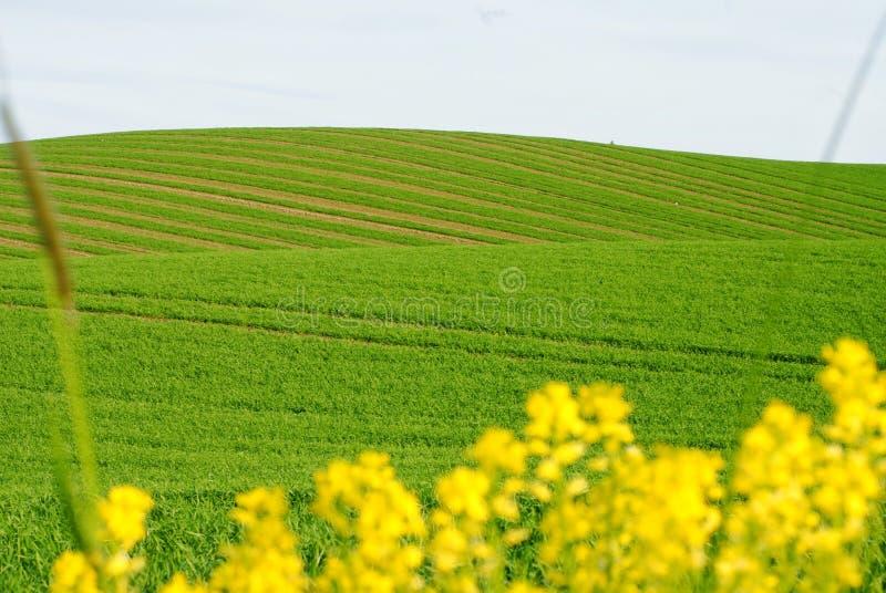 Campo ondulado verde e plantas amarelas na parte dianteira fotos de stock royalty free