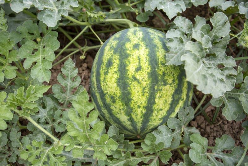 Campo orgânico fresco da melancia Foto do conceito da agricultura fotografia de stock