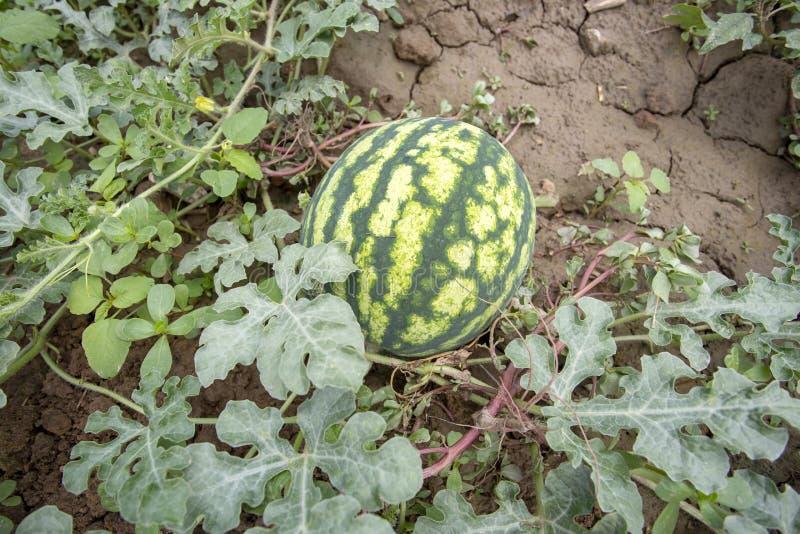 Campo orgânico fresco da melancia Foto do conceito da agricultura fotos de stock royalty free