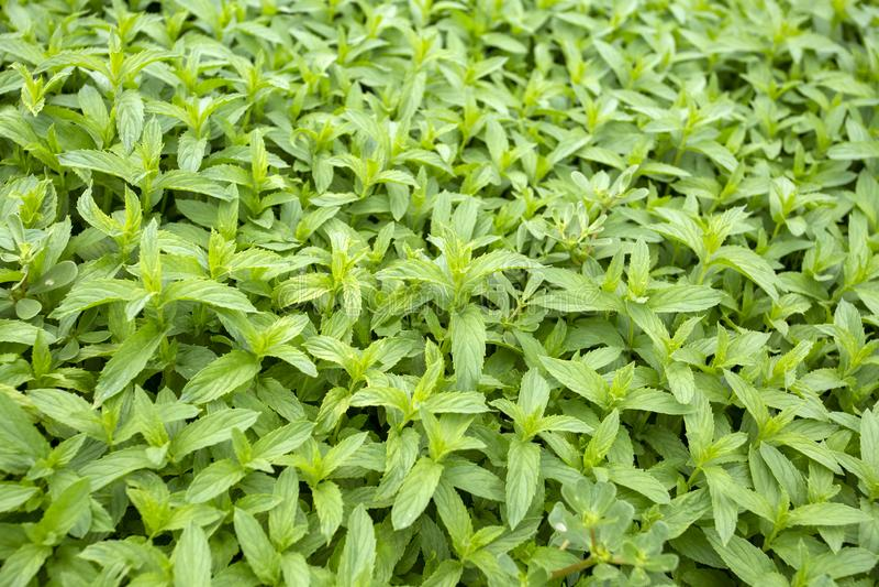Campo orgânico fresco verde da hortelã Foto do conceito da agricultura foto de stock