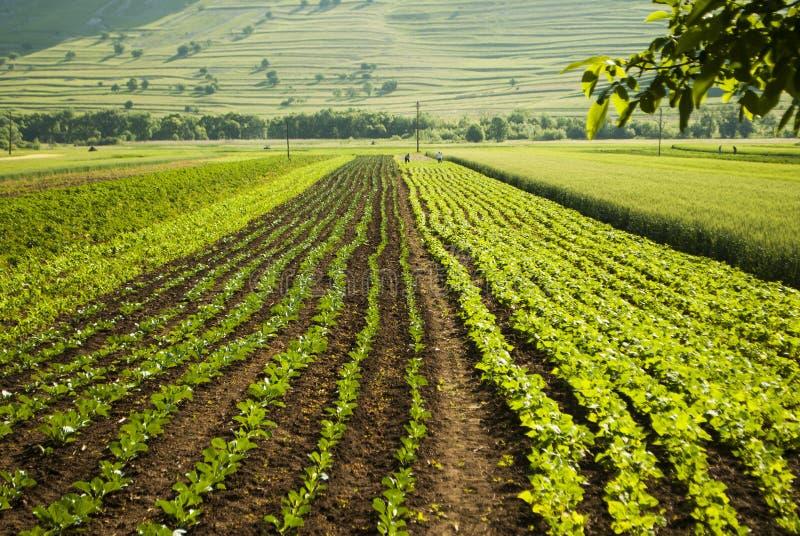 Campo organico della piantagione delle verdure immagini stock libere da diritti