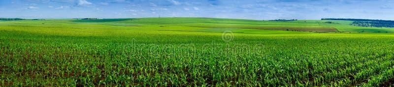 Campo panorâmico de colheitas do milho imagens de stock