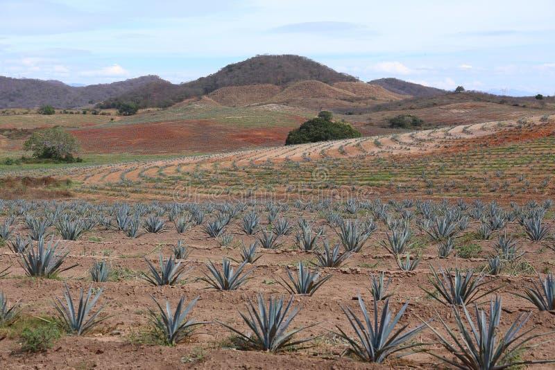 Campo para a produção do Tequila, Jalisco da agave, México fotos de stock royalty free