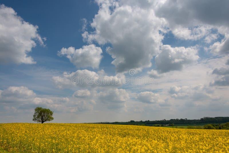 Campo petrolífero de Rapseed com o céu nebuloso azul dramtatic e o único carvalho fotografia de stock