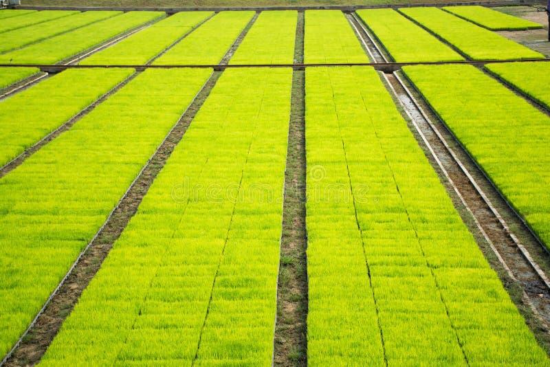 Campo più cultivest della risaia fotografia stock libera da diritti