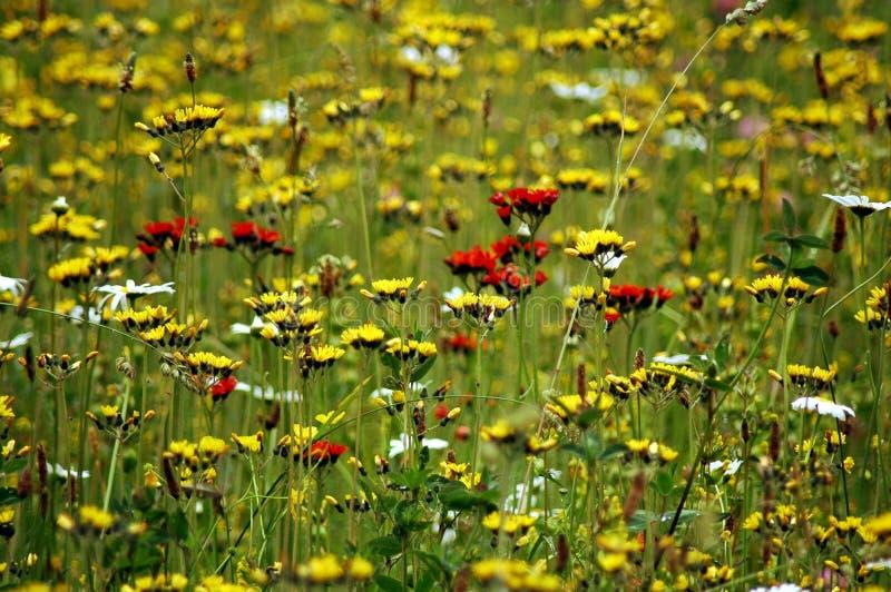 Campo in pieno dei fiori fotografie stock