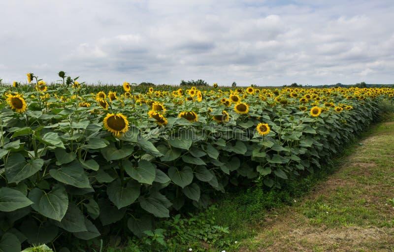 Campo in pieno dei girasoli gialli con i petali aperti il giorno nuvoloso fotografie stock