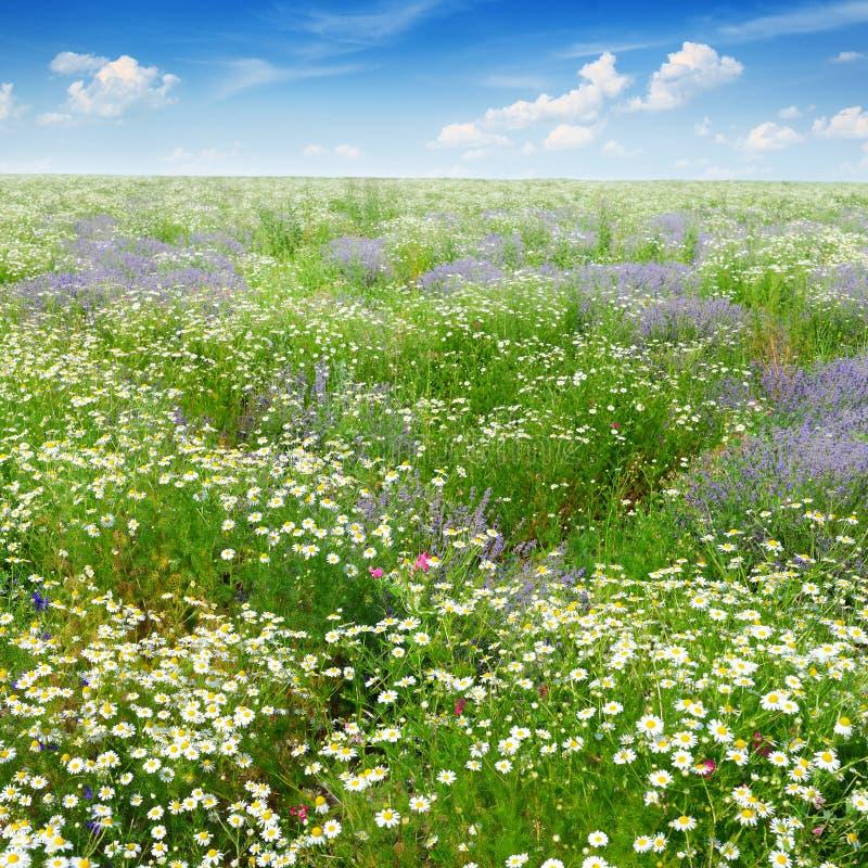 Campo pintoresco cubierto con la hierba, lavanda, margaritas fotos de archivo