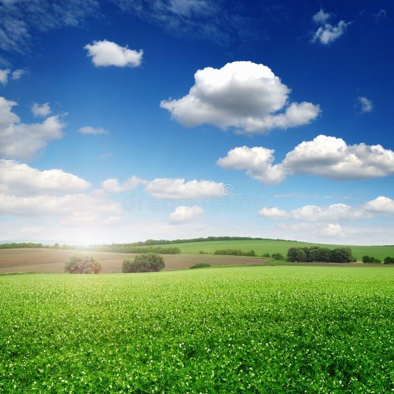 Campo pintoresco del guisante y cielo azul imagen de archivo libre de regalías