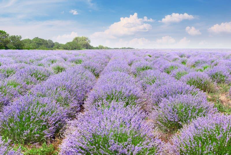 Campo pitoresco da alfazema com flores maduras fotos de stock