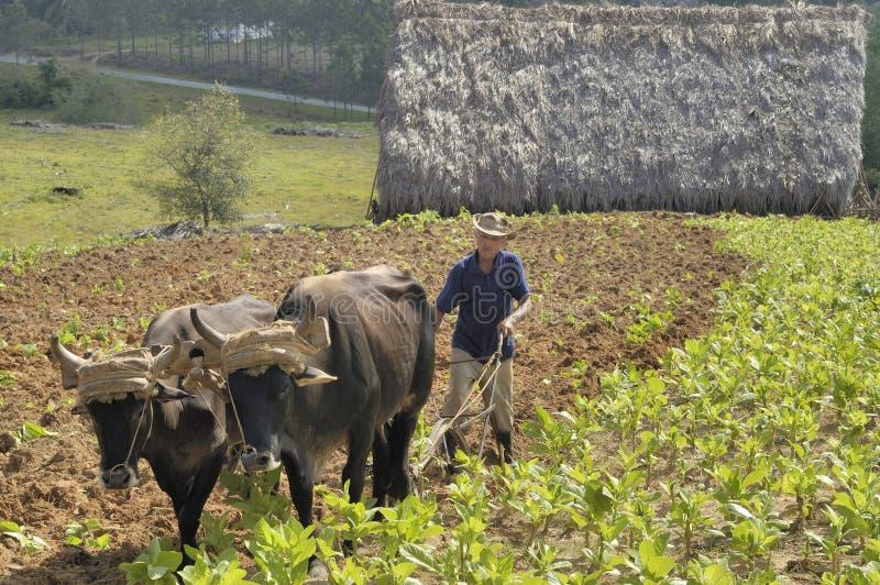Campo ploughing do fazendeiro cubano com a guilhotina tradicional puxada por bois imagens de stock