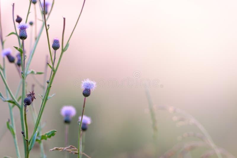 Campo, por do sol, névoa e backgrou natural de florescência do arbusto da bardana imagens de stock