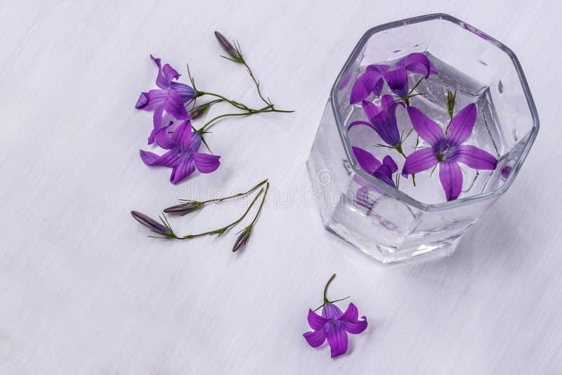 Campo porpora di Belhi nel bicchiere d'acqua su fondo bianco fotografia stock