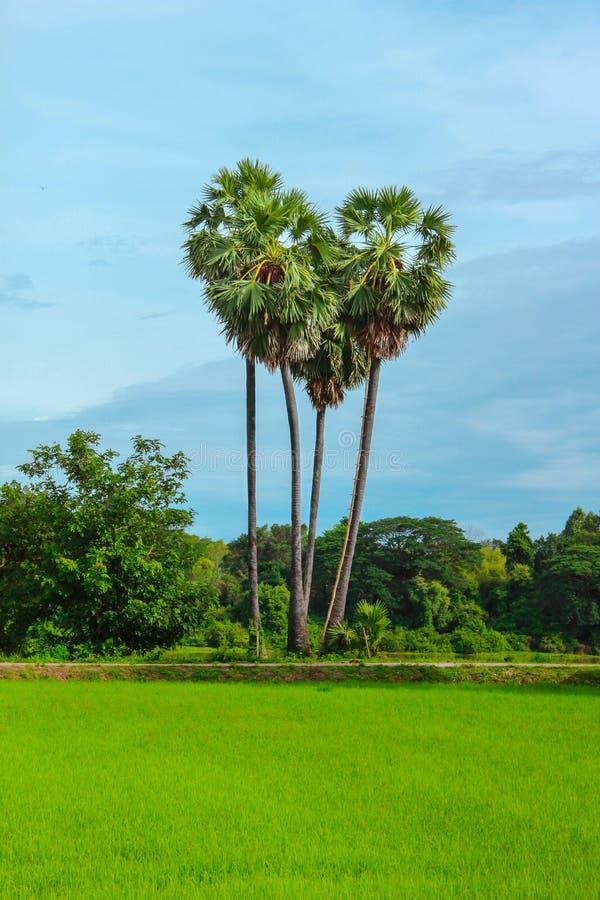 Campo próximo e rio da árvore surpreendente do palmito imagem de stock