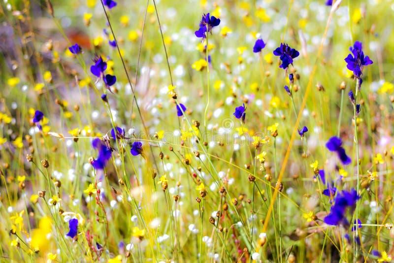 Campo que floresce com Utricularia fotografia de stock