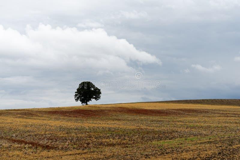 Campo raccolto con l'albero solo immagine stock
