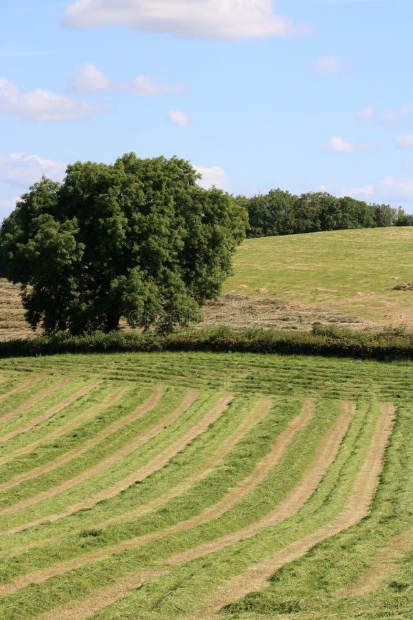 Campo recentemente tagliato con erba nelle file per imballare fotografia stock