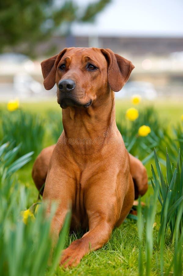 Campo rhodesian bonito feliz do cão do ridgeback na primavera imagens de stock royalty free