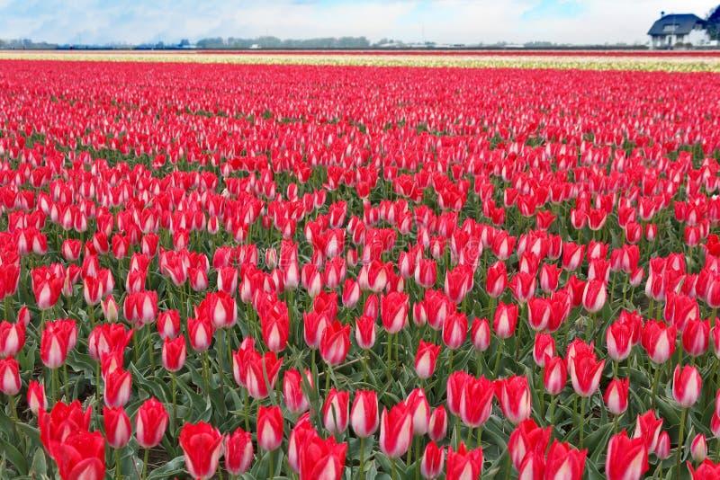 Campo rojo blanco espectacular del bulbo de los tulipanes fotografía de archivo