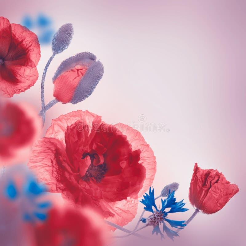 Download Campo Rojo De Las Amapolas Y Acianos Azules Imagen de archivo - Imagen de prado, planta: 42435371