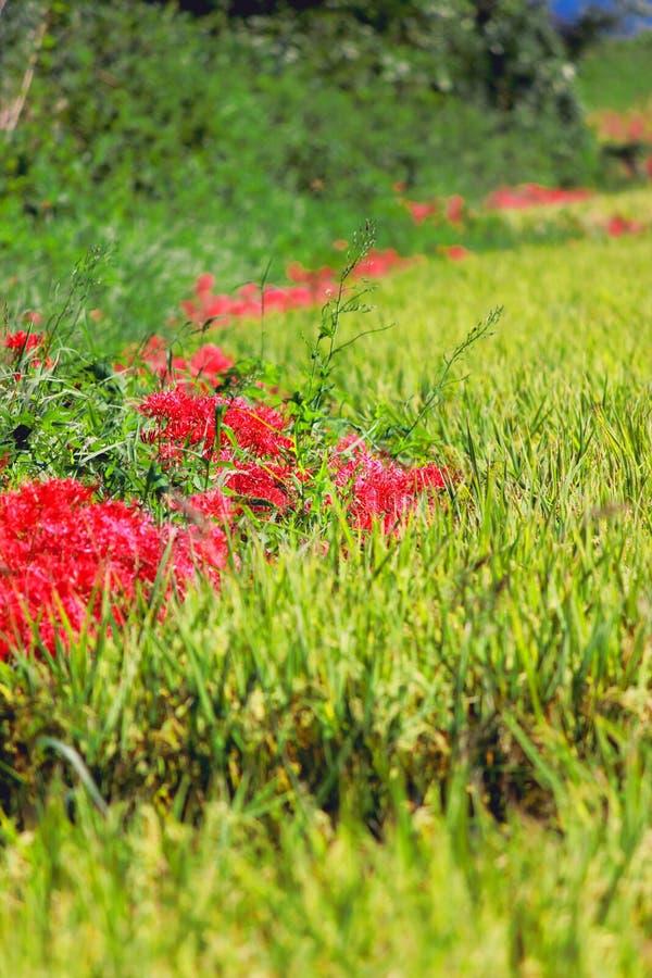 Campo rojo del amaryllis y del arroz fotografía de archivo