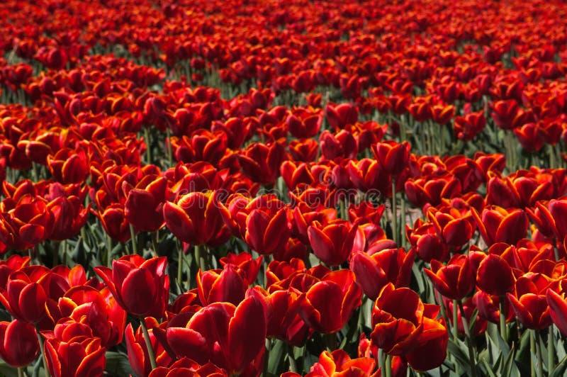 Campo rojo del tulipán imagen de archivo