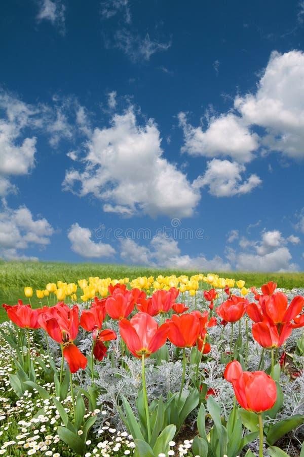 Campo rojo y amarillo del resorte de los tulipanes imágenes de archivo libres de regalías