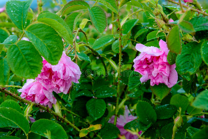 Campo rosa del bulgaro vicino a Karlovo fotografie stock libere da diritti