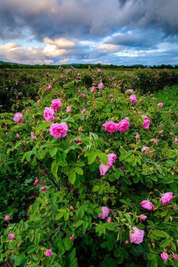 Campo rosa del bulgaro vicino a Karlovo immagine stock