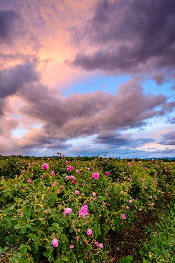 Campo rosa del bulgaro vicino a Karlovo immagine stock libera da diritti
