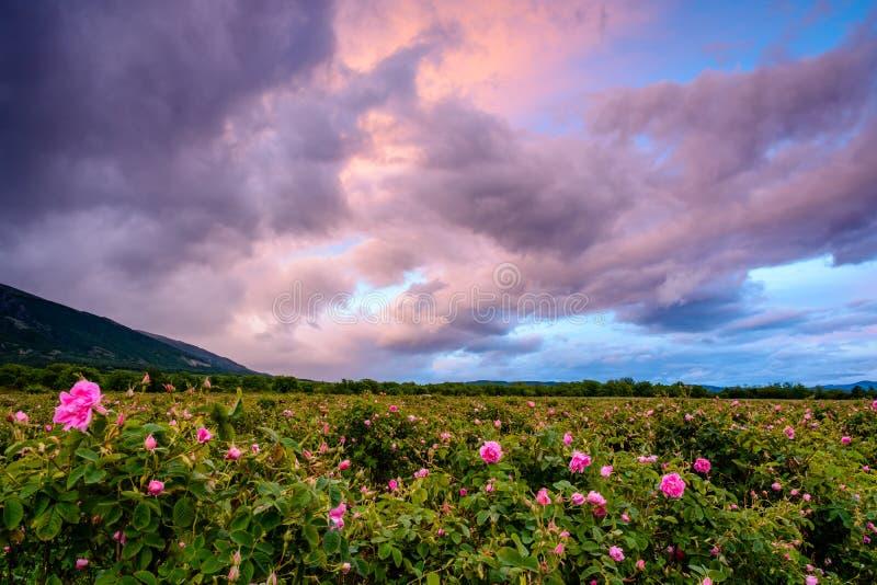 Campo rosa del bulgaro vicino a Karlovo immagini stock libere da diritti