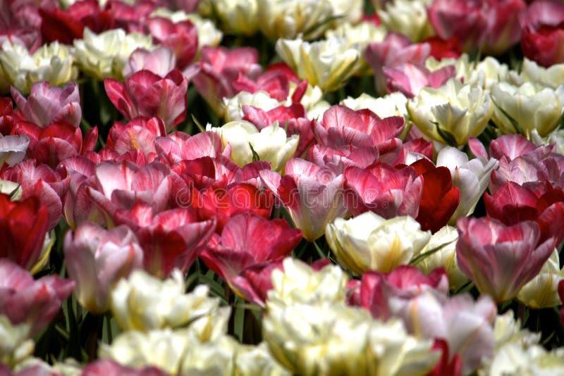 Campo rosado y blanco del tulipán foto de archivo libre de regalías