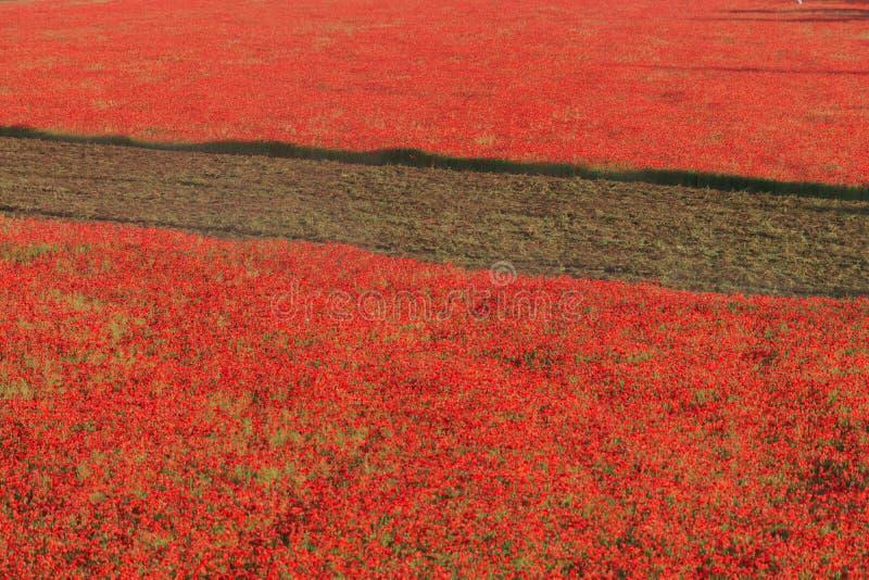 Campo rosso dei papaveri con il solco diserbo fotografia stock libera da diritti