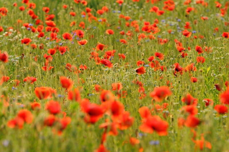 Campo rosso del papavero immagine stock libera da diritti