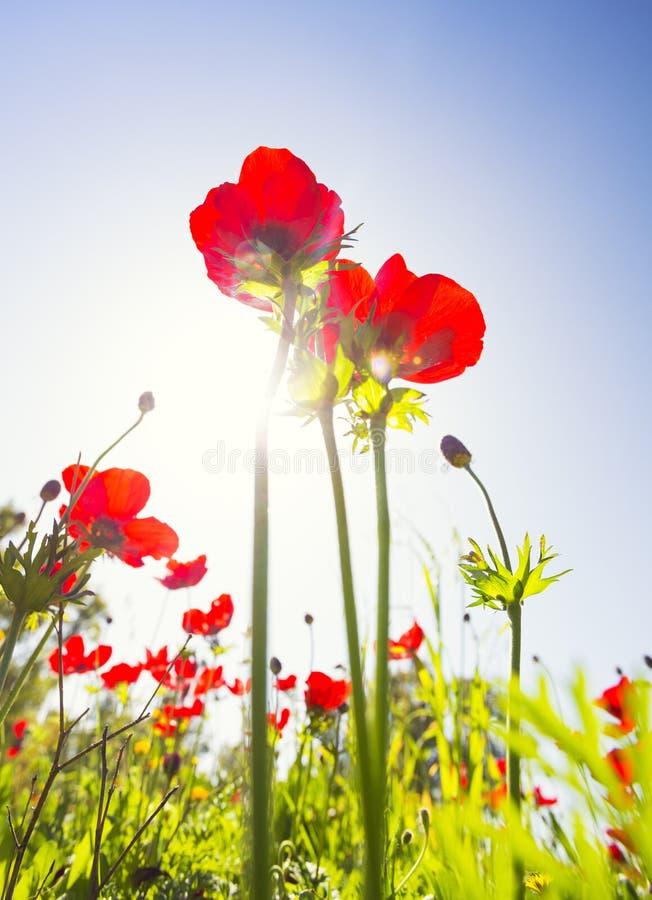 Campo rosso del papavero sotto il sole di estate immagini stock libere da diritti