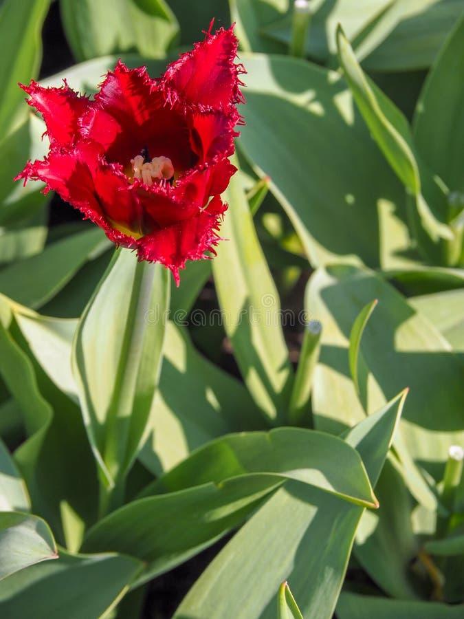 Campo rosso scuro luminoso e variopinto del tulipano del pappagallo con le foglie verdi fotografie stock