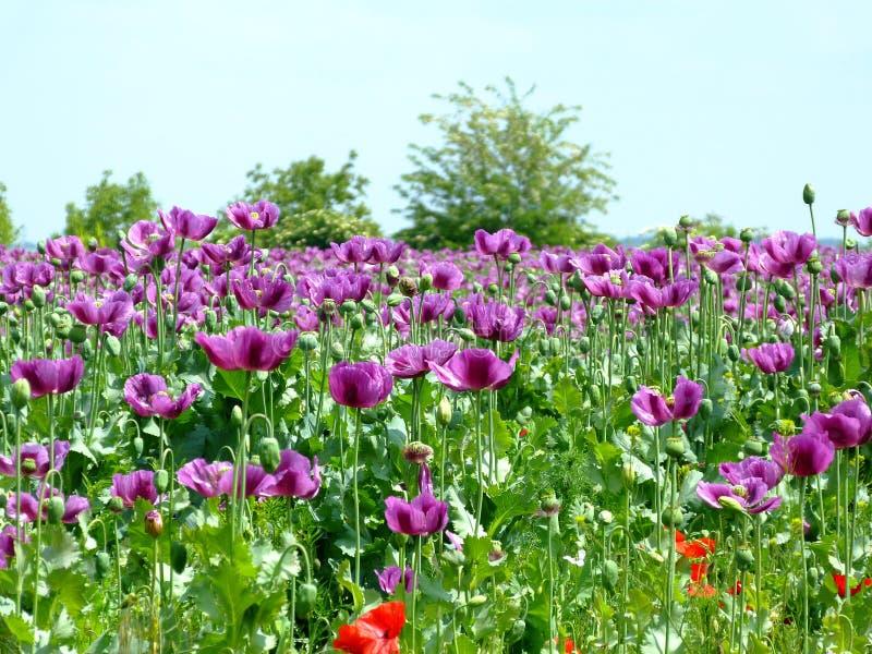 Campo roxo da papoila na flor completa na mola com fundo obscuro foto de stock royalty free