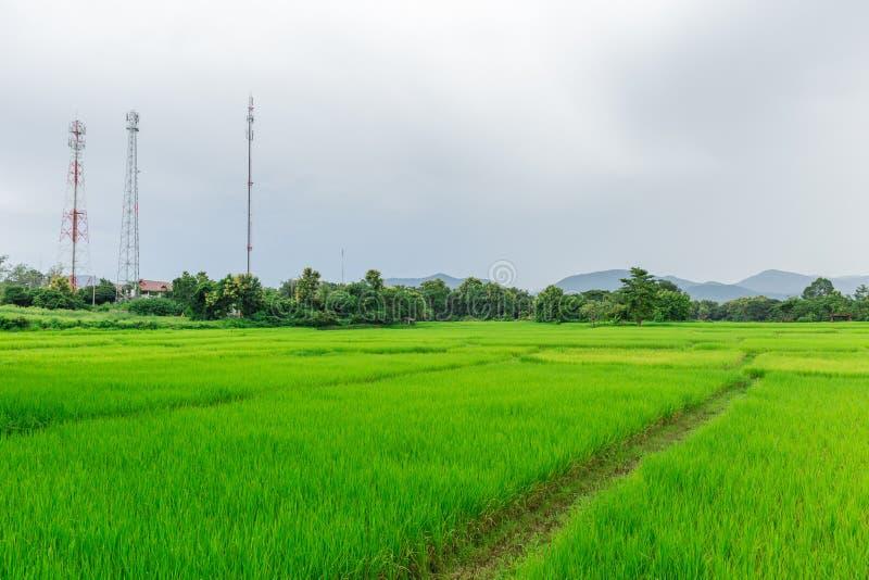 Campo rural do arroz com a torre do sinal de comunicação móvel imagem de stock royalty free