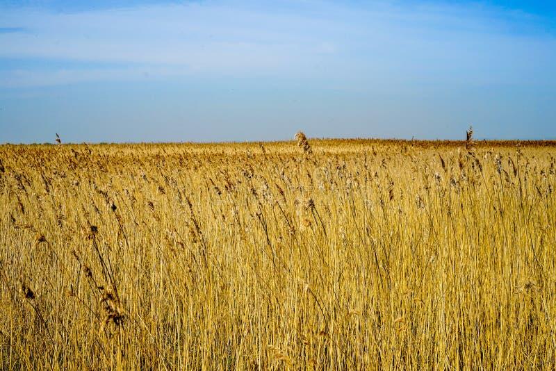 Campo rurale giallo del raccolto nel lato del paese fotografie stock libere da diritti