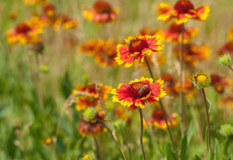 Campo salvaje con las flores combinadas indias salvajes hermosas foto de archivo