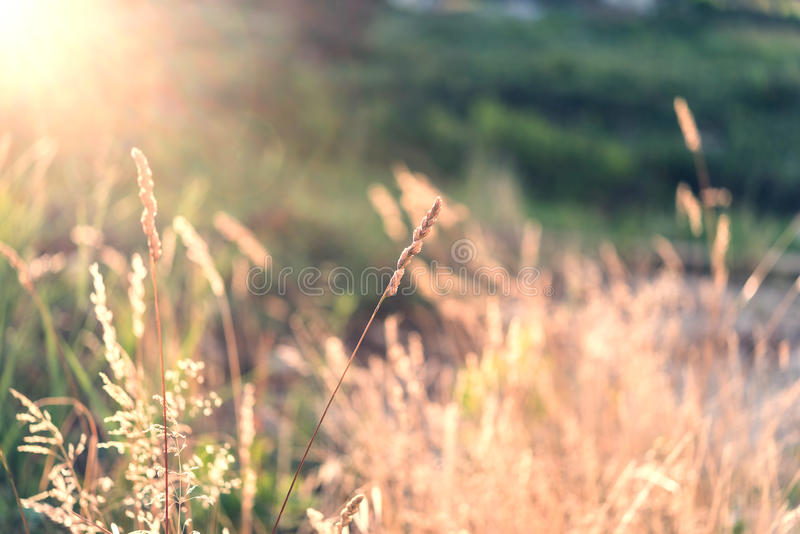 Campo salvaje de la hierba en puesta del sol imágenes de archivo libres de regalías